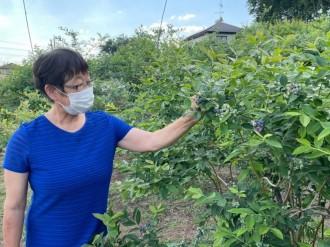 美里町の晩生種ブルーベリー園、摘み取り最盛期迎え夏季限定営業