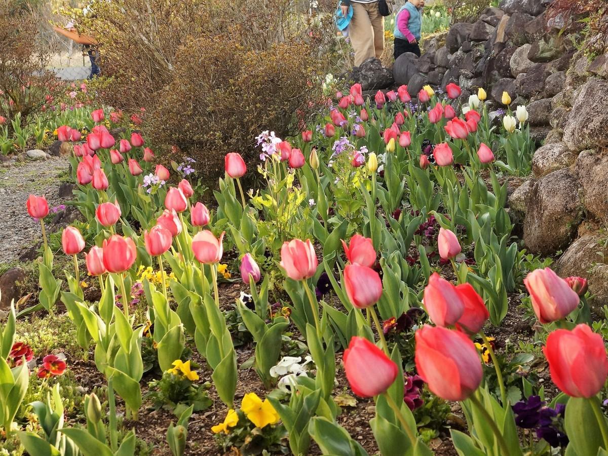 6000本のチューリップが植えられている「春の名所」