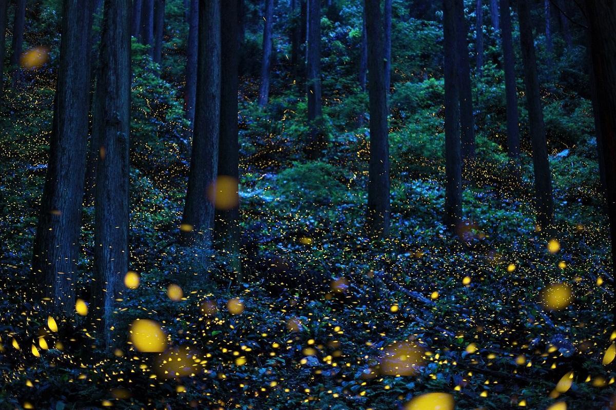 スギ林で美しく光る「ヒメボタル」