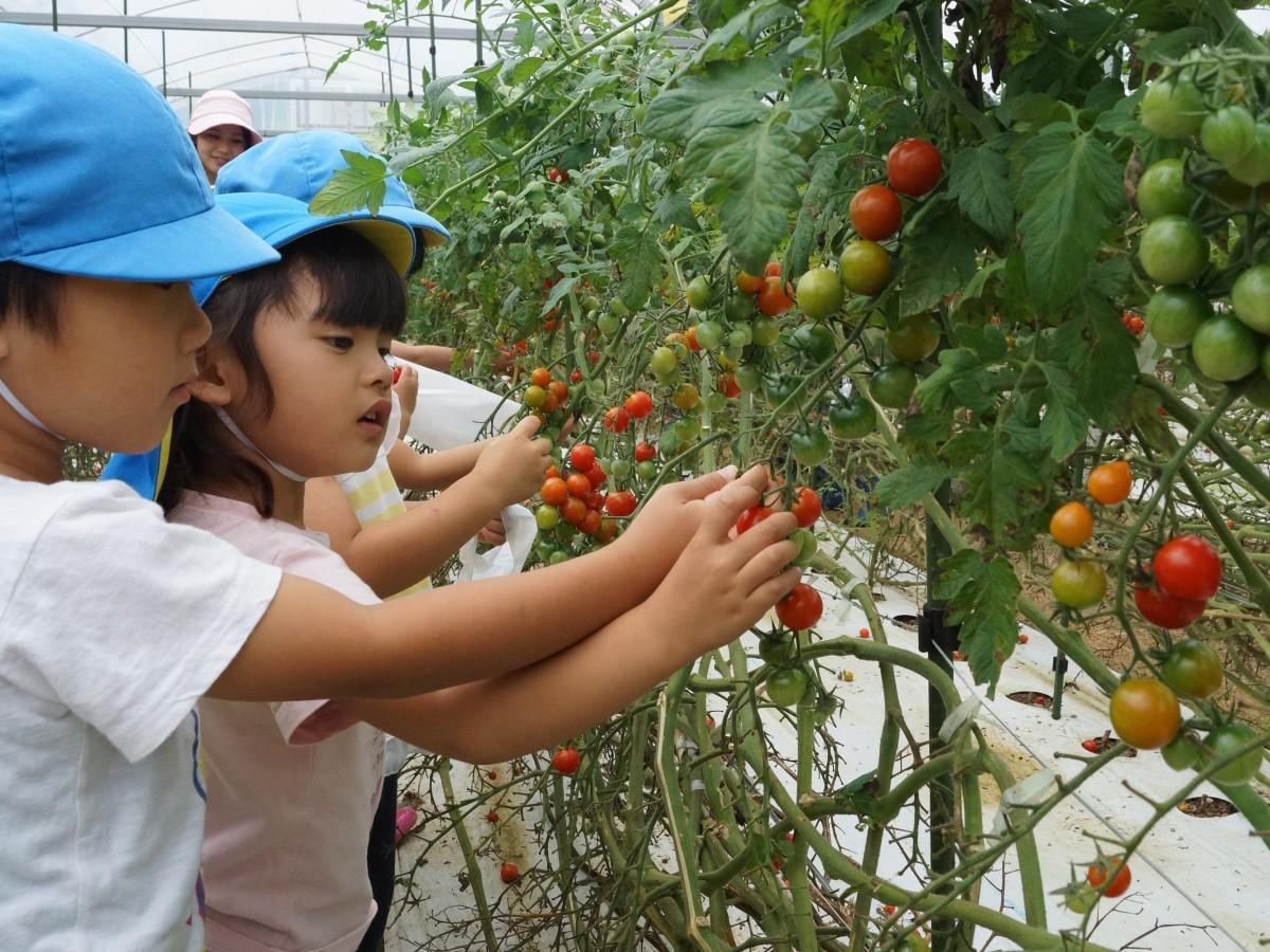 真っ赤なミニトマトを収穫する園児