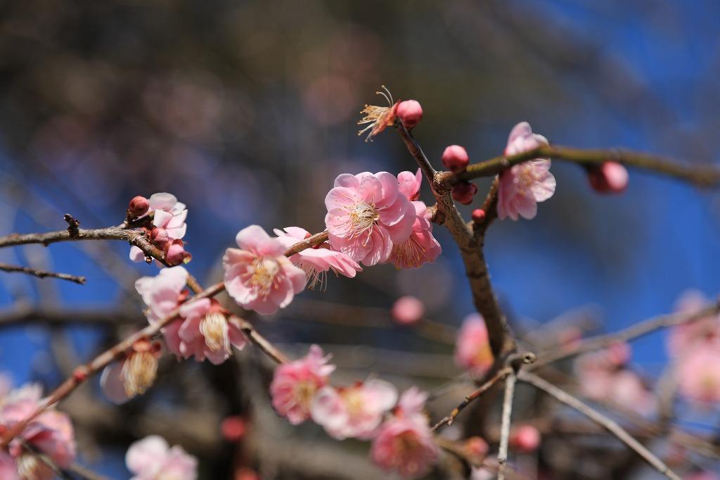本東寺境内には紅梅も