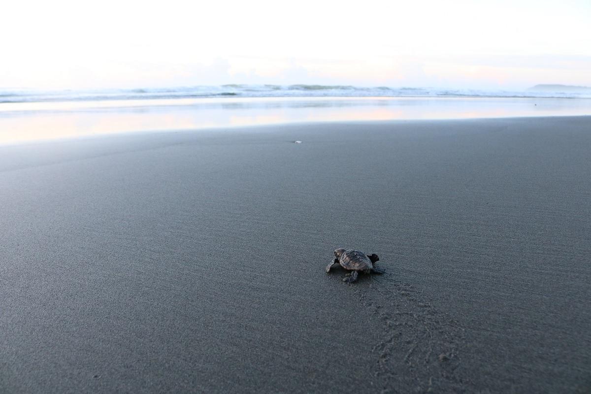 海に向かう体長4センチの子ガメ