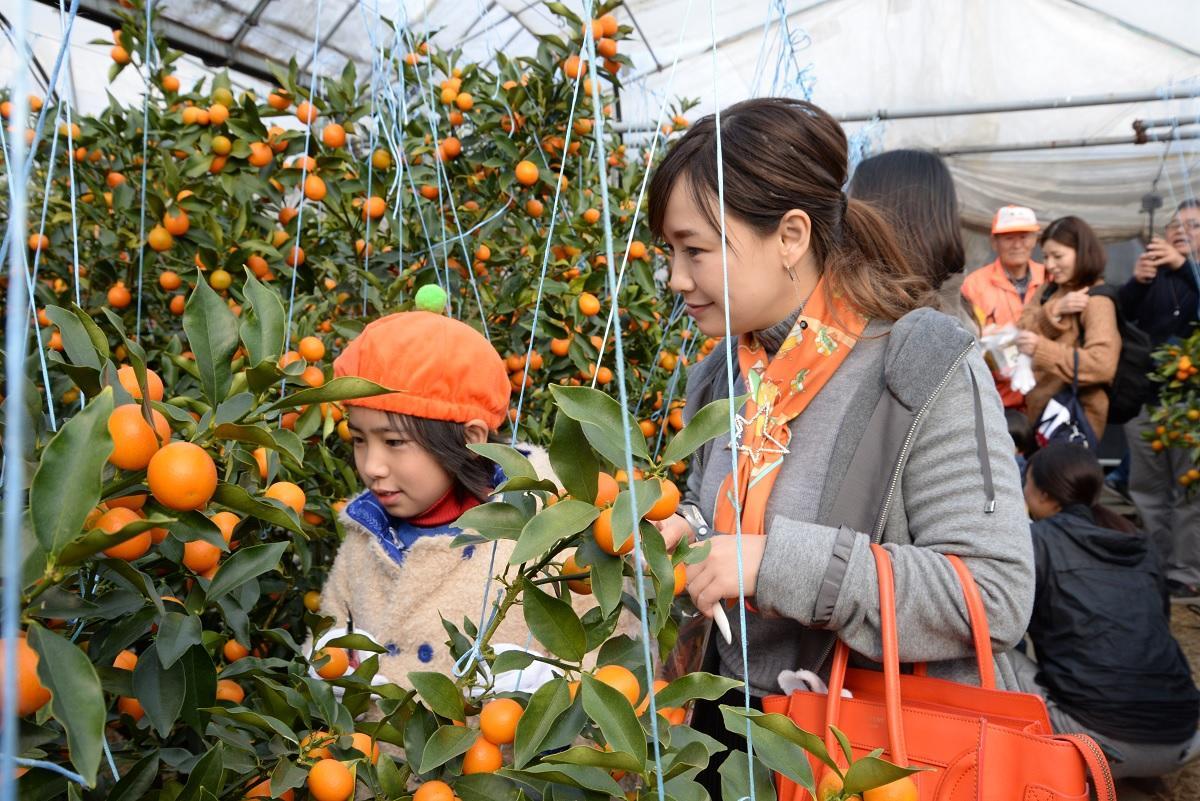 完熟キンカン「たまたま」を収穫する親子