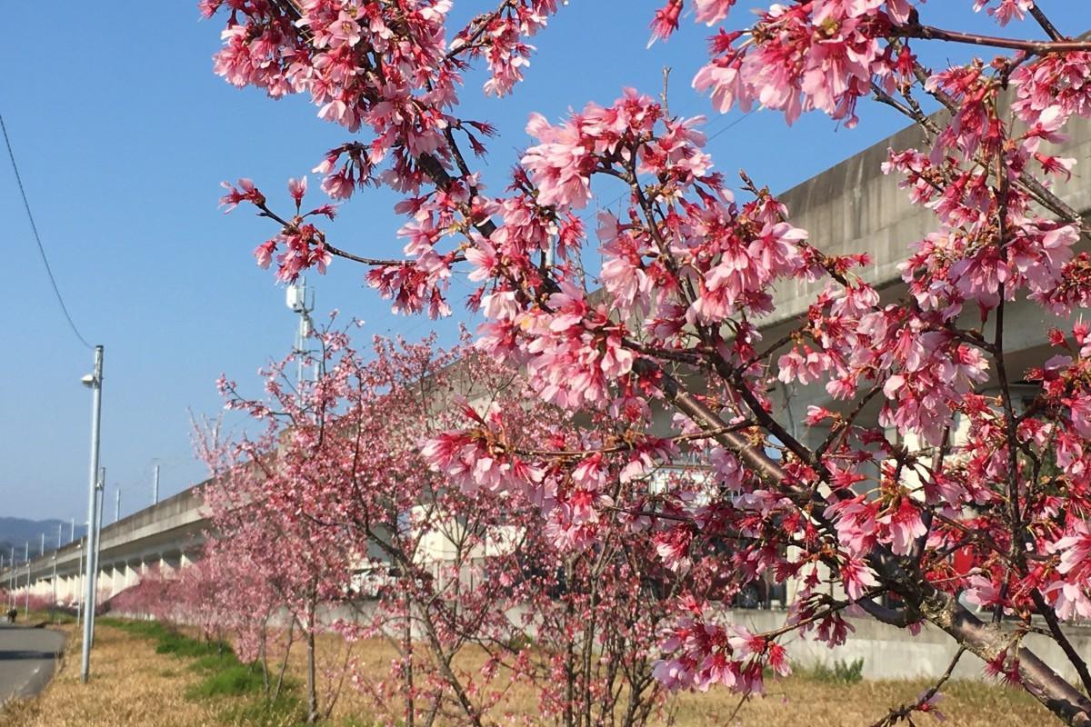 日向市駅に近い緑道沿いで咲く「オカメザクラ」