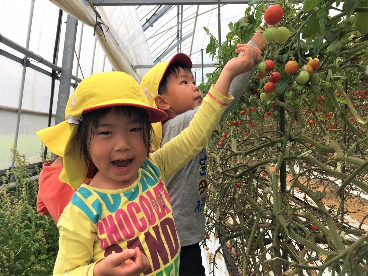 うれしそうにミニトマトを収穫する女児