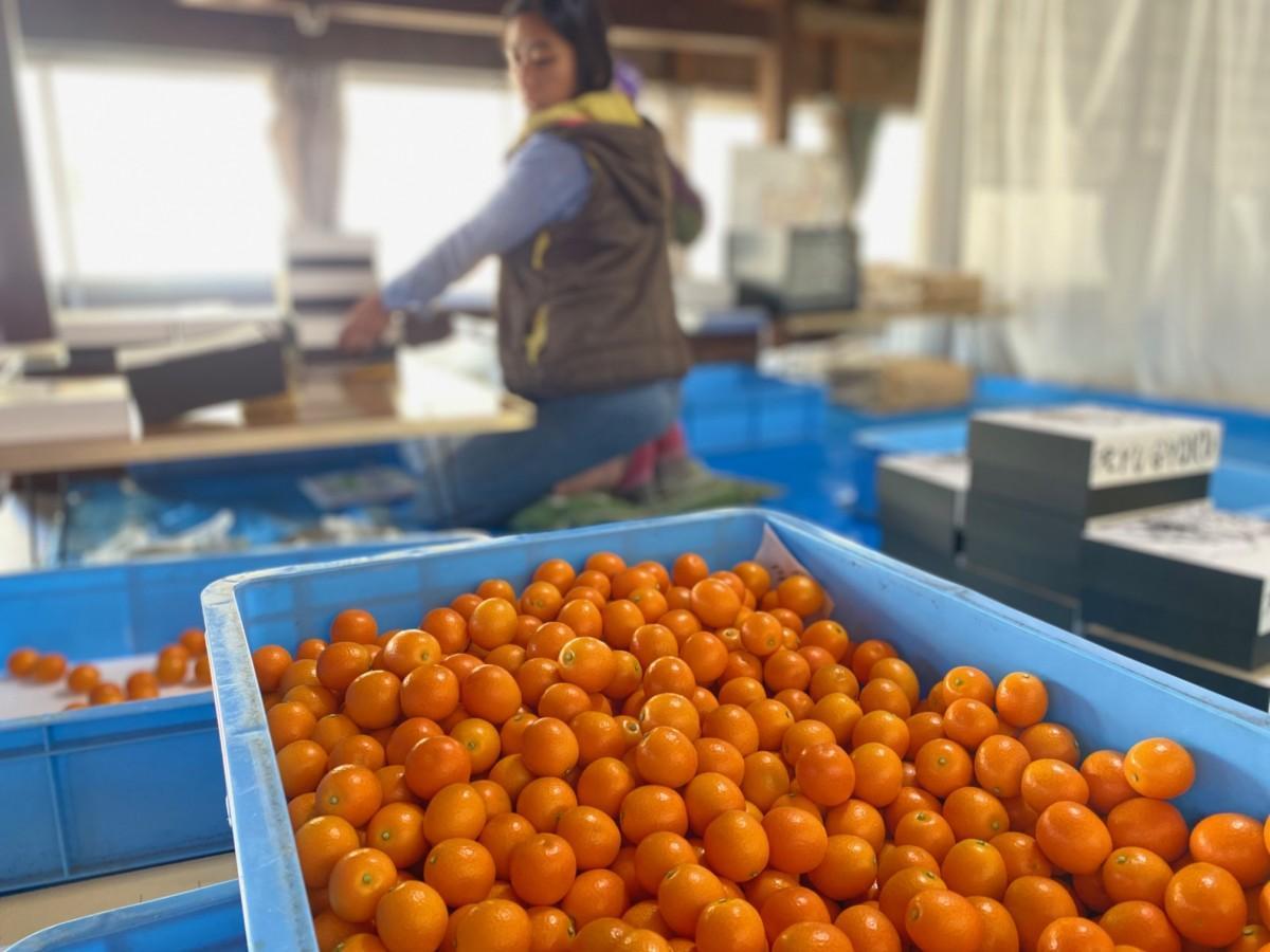 収穫された竜玉農縁のキンカン