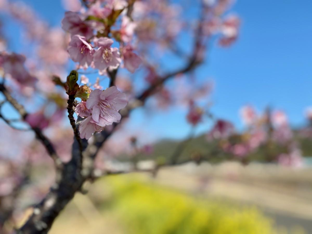 見頃を迎えた河津桜と菜の花