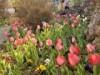 日向・東郷町の私邸で6000本のチューリップが咲き始め 春の名所として人気
