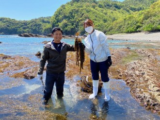 宮崎・須美江町で天然ひじきの収穫始まる 生産者「食感と磯の香りを楽しんで」