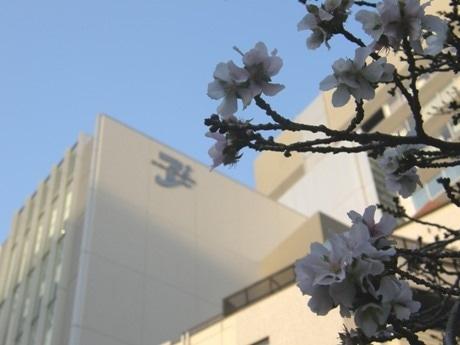 都会の狭間に咲く1本の「冬桜」
