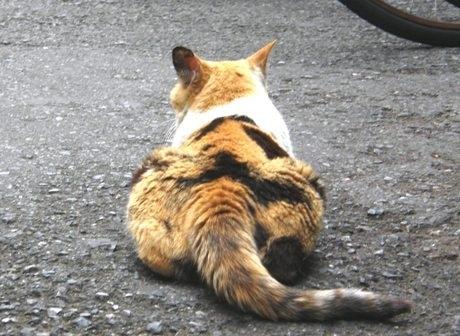 神楽坂界隈のさまざまな場所で猫の姿が見られる