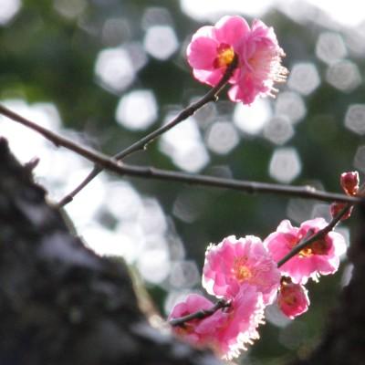 靖国神社の境内に咲く梅の花。カメラ付き携帯電話で撮影するビジネスマンの姿も。