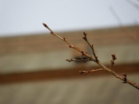 靖国神社境内の桜のつぼみ(3月4日午後撮影)