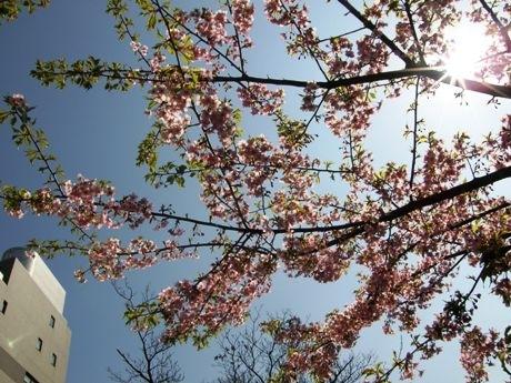 牛込神楽坂駅近くの南蔵院にある1本の「河津桜」