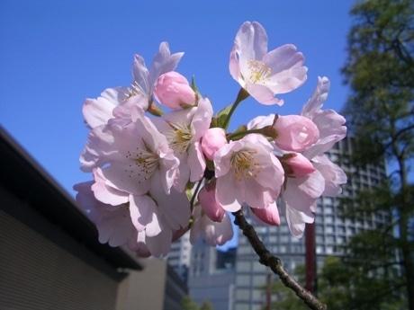 名称を公募している仮称「駿河桜二世」。