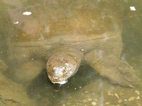 冬眠から覚め、水面から顔を出すスッポン。体長は70~80センチにもなり、地域住民からも「池の主」として親しまれている。