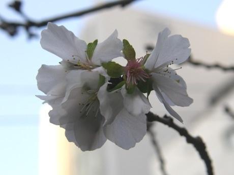 春と冬、年2回花を咲かせる「冬桜(フユザクラ)」