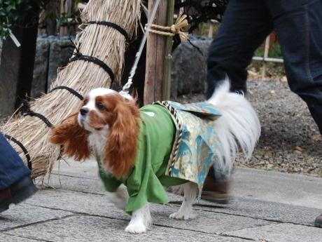 「ペットと一緒の初詣」が人気の市谷亀岡八幡宮で行われる「ペットの成人式」。参列するペットは晴れ着姿で人間同様の儀式を執り行う。(写真=初詣に着物姿で参列したペットの様子)
