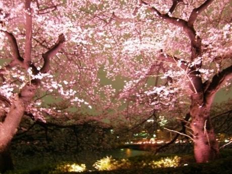 千鳥ヶ淵緑道の夜桜ライトアップ(写真=昨年の様子)