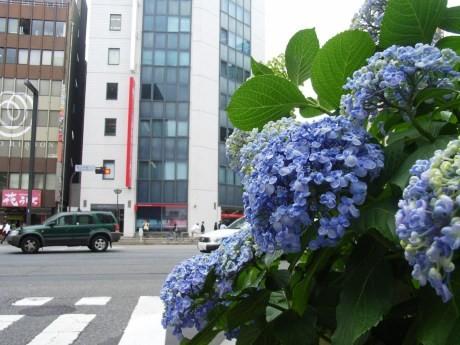 東京・四谷の新宿通り沿いに咲くあじさい(6月10日撮影)