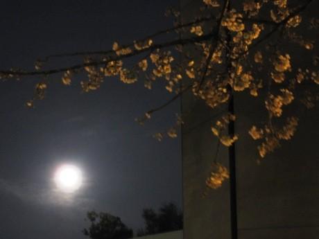3月30日の夜、「ブルームーン」が都心でも観察された。画像は四ツ谷駅近く、聖イグナチオ教会と上智大学の間から見える「ブルームーン」と間もなく満開を迎える桜。