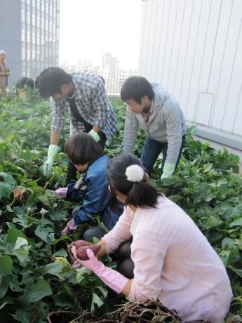 法政大学市ヶ谷キャンパスの校舎屋上で行われたサツマイモ収穫の様子