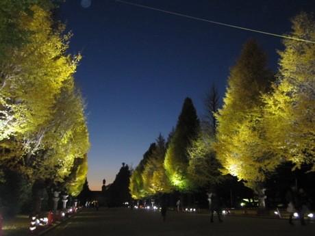 靖国神社で始まったイチョウ並木のライトアップ