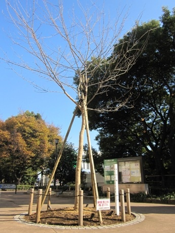 千鳥ケ淵緑道の内堀通り側入り口付近に植樹された「荘川桜2世」