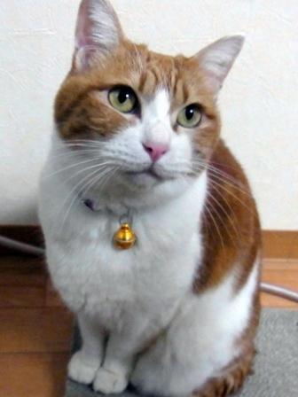 猫の首輪に付けられたID付きお守り「百守鈴」
