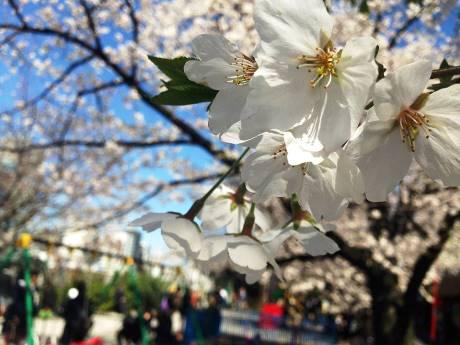 昨年の桜の様子(市ケ谷駅周辺)