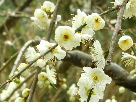 開花時期が遅い「白梅」