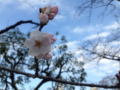 市ケ谷駅近くで開花した桜