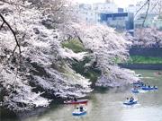 桜満開の「千代田のさくらまつり」 花見スポットを回るバスの試運行も