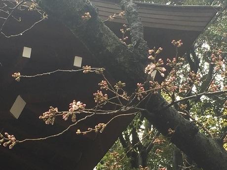 5輪以上の花が確認された靖国神社の標本木