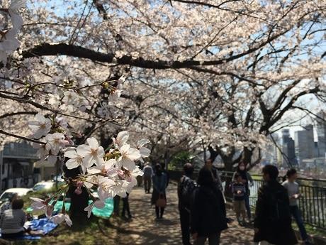 市ケ谷周辺でもようやく桜が見頃に(画像=外濠公園の様子)
