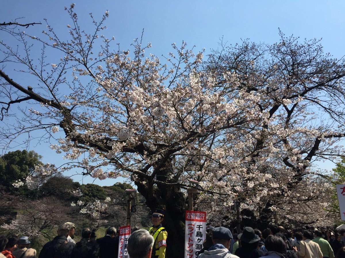 桜の名所として知られる千鳥ヶ淵周辺などを会場にした「千代田のさくらまつり」が今月29日から開催