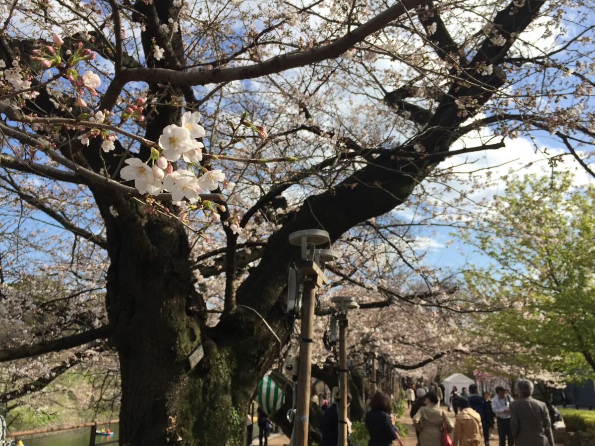 桜の開花が進む千鳥ヶ淵緑道