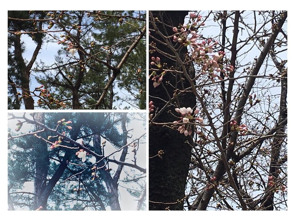 四谷の土手の桜も開花始まる(3月17日撮影)
