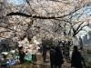 市ケ谷周辺の桜が見頃に 「千代田のさくらまつり」も期間延長