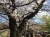 千鳥ヶ淵の桜、開花進む 「千代田のさくらまつり」は開催日前倒し