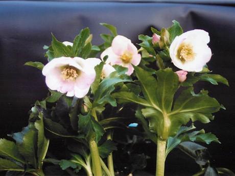 新花コンテスト出品予定のガーデンハイブリッド「グランジュテ さくら」