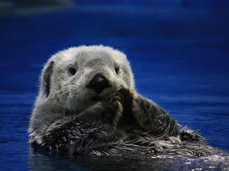サンシャイン水族館がラッコ展示終了 減少し続ける国内ラッコ数など背景