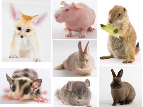 「アニマルルーム いけもふ」スタッフのフェネック、モモンガ、モルモット、ウサギ、チンチラ、プレーリードッグ
