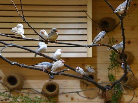 文鳥・キンカチョウなどのフィンチ類を中心に小鳥が在籍する「ことりカフェ巣鴨」