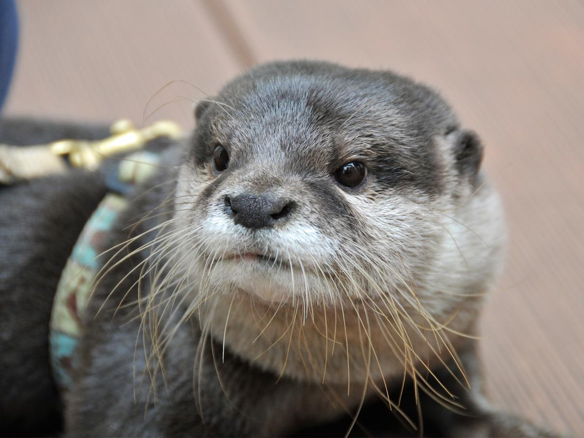サンシャイン水族館のカワウソ「やまと」