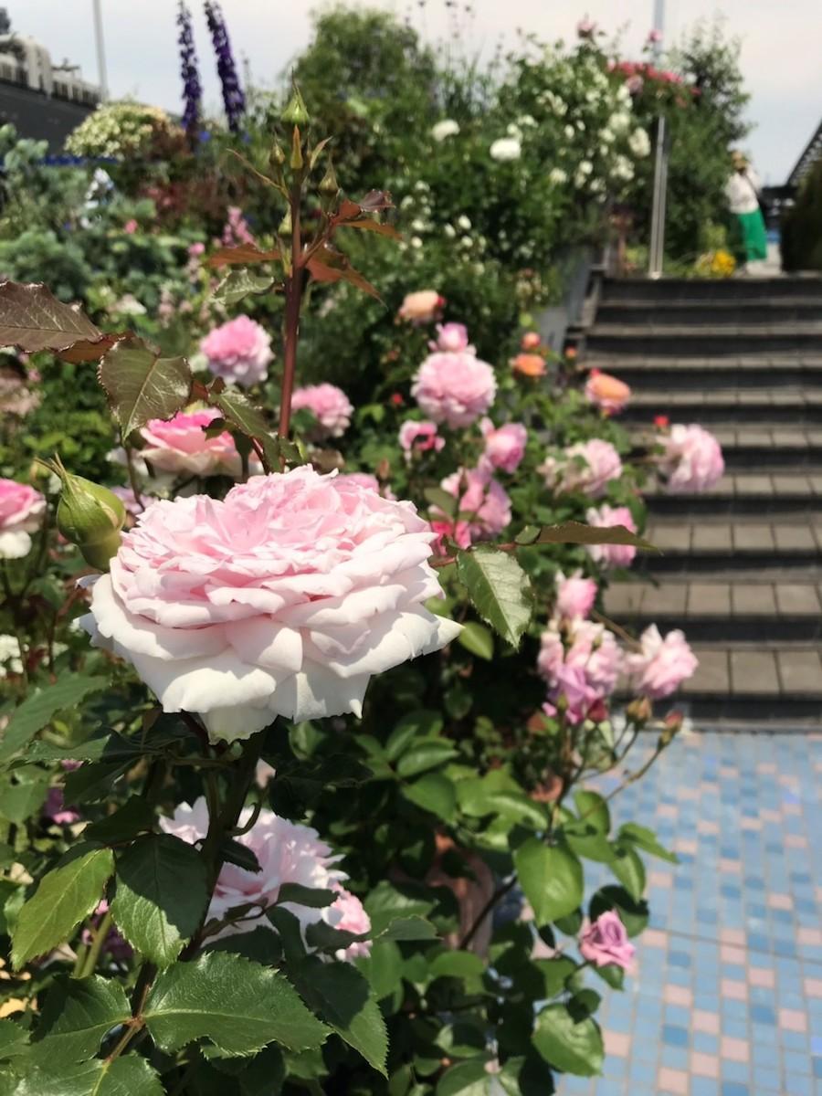 「睡蓮の庭」のバラ