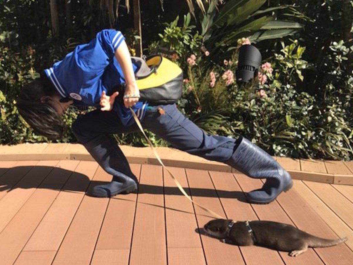 散歩中のコツメカワウソと、漫画の技を真似する飼育員