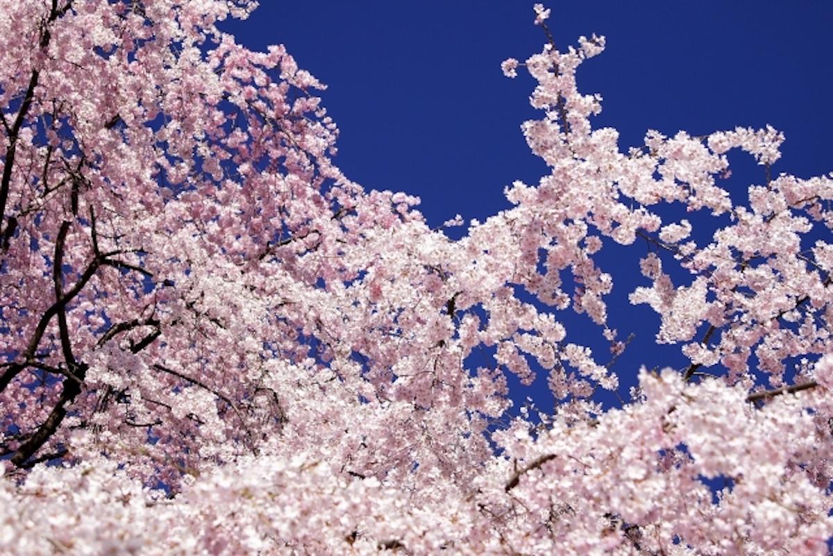 駒込・六義園の桜