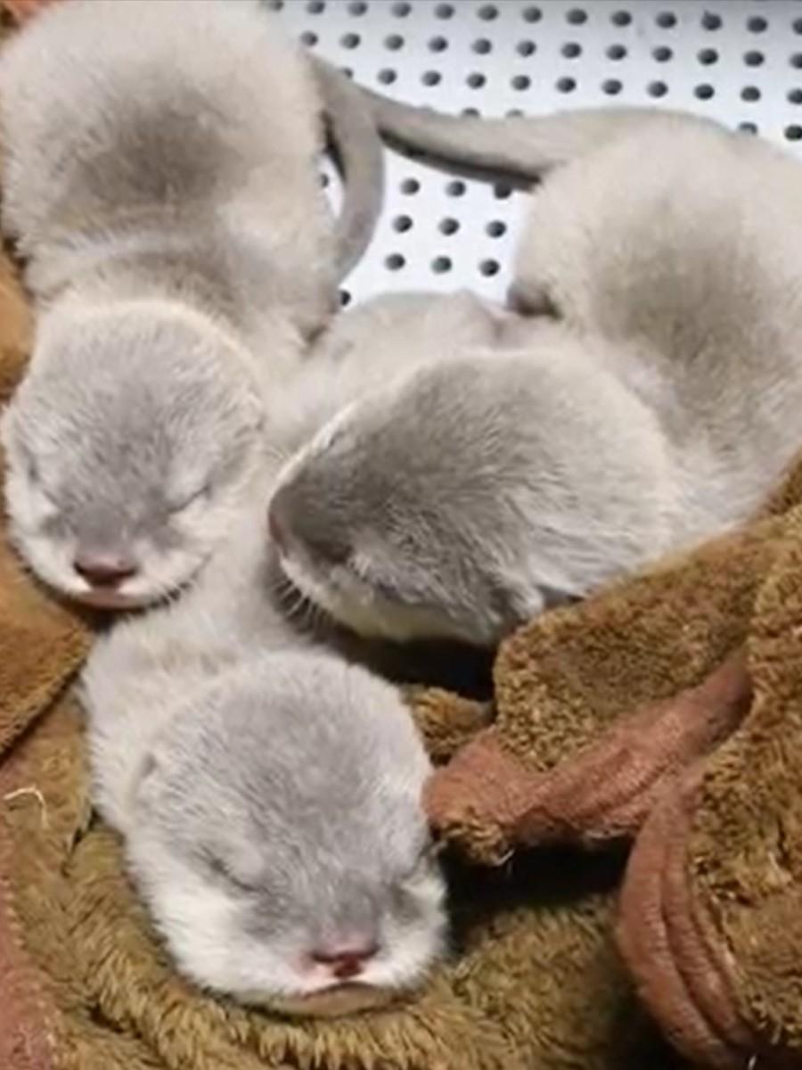 コツメカワウソの赤ちゃん3姉妹