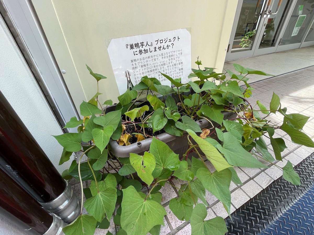 プランターで栽培しているサツマイモ